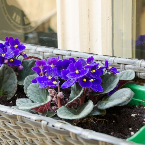 spring African-violet pot outside on window sill