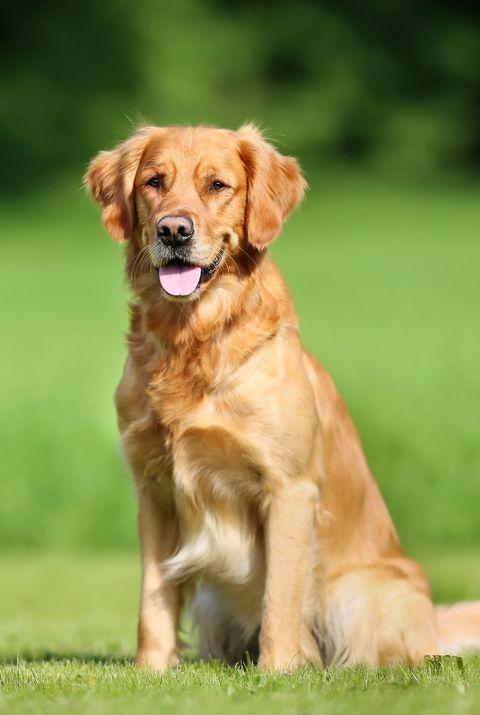 Dog breed, Dog, Carnivore, Mammal, Sporting Group, Retriever, Grassland, Fawn, Field, Snout,