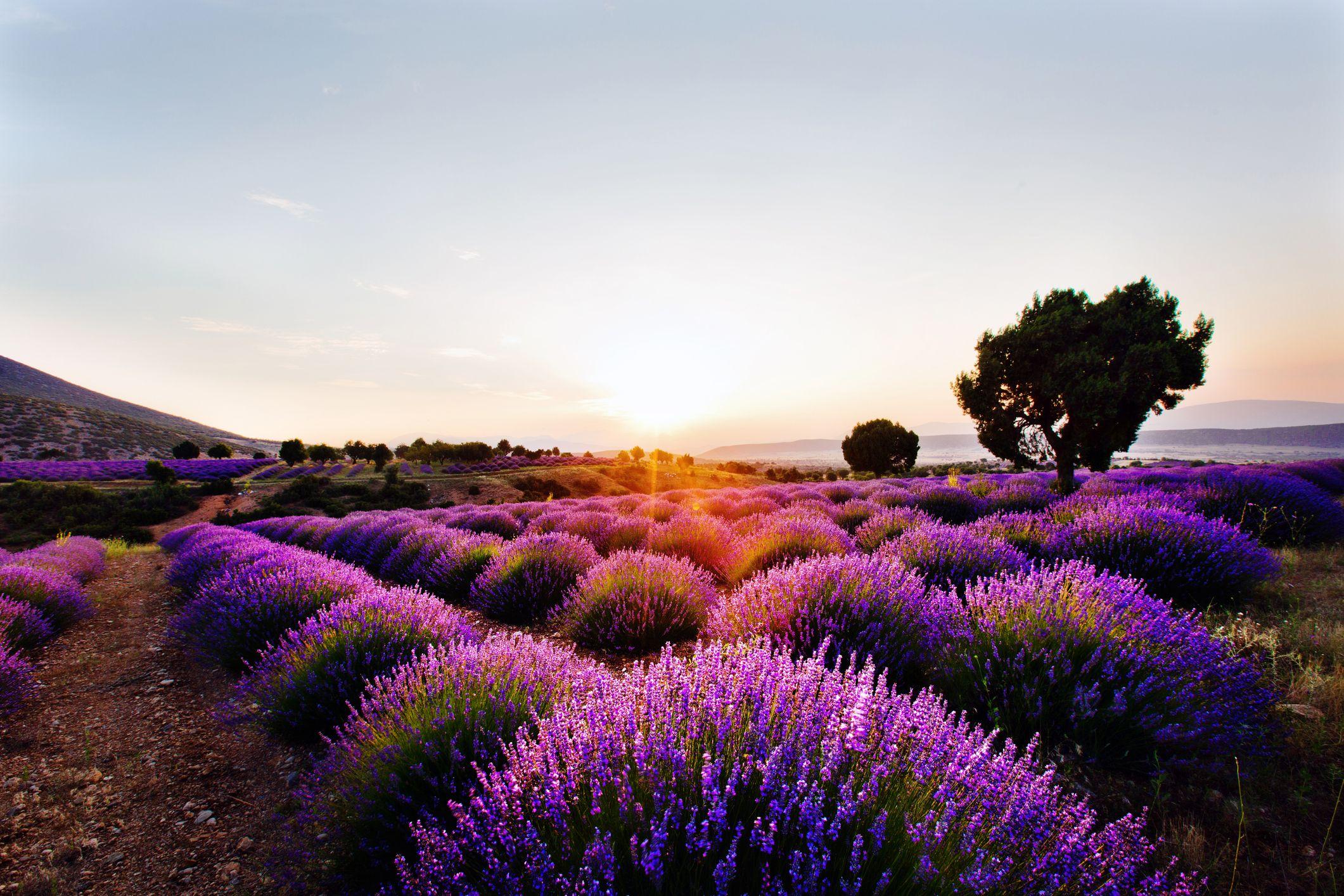 It's Peak Lavender Season in Turkey, so Book Your Vacation ASAP