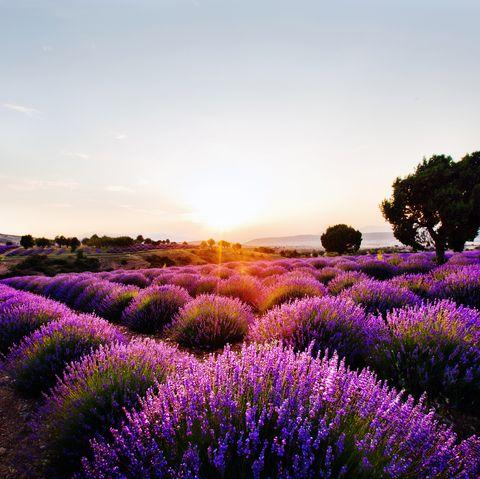 lavender fields turkey