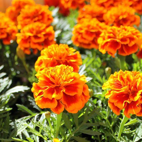Flower, Flowering plant, Tagetes, Petal, Plant, Tagetes patula, Orange, english marigold, Annual plant, Perennial plant,