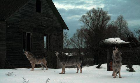 Winter, Snow, Canidae, Wildlife, Wolf, Tree, Wolfdog, Fawn, House,