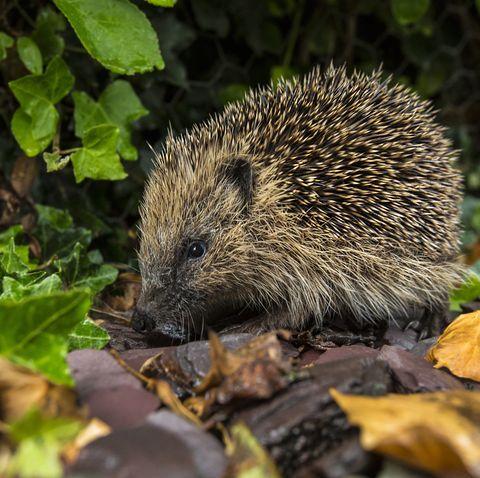 Western Hedgehog - British Isles
