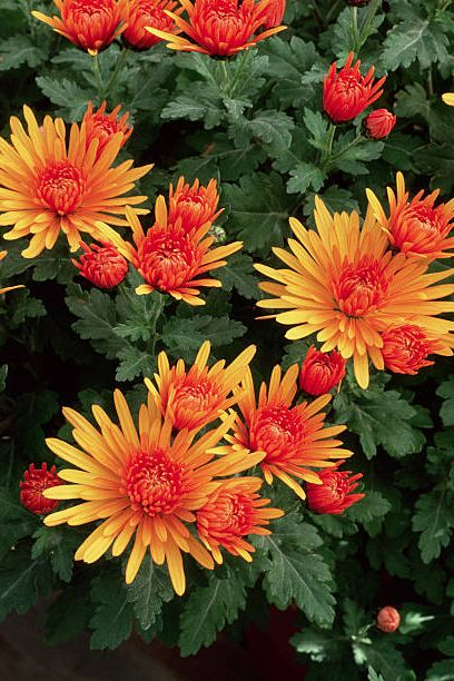 orange chrysanthemum bloom with uniform bronze flowers