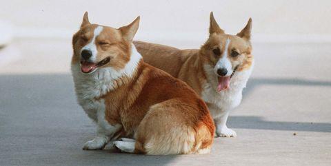 Dog, Mammal, Vertebrate, Welsh Corgi, Canidae, Pembroke welsh corgi, Dog breed, Carnivore, Cardigan welsh corgi, Snout,