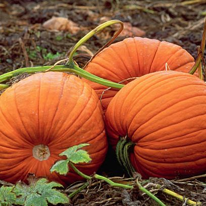 three pumpkins rest together still on the vine in a kent, washington field usa