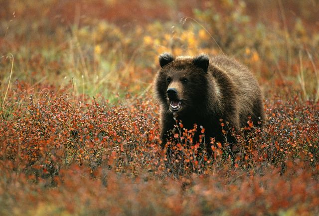 grizzly attacca bufalo