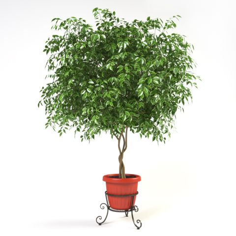 Ficus Benjamina - 3d render