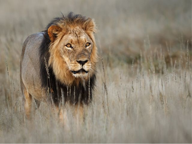 lions live for 10 14 years in the wild, while in captivity they can live longer than 20 years in the wild, males seldom live longer than 10 years, as injuries sustained from continual fighting with rival males greatly reduce their longevity they typically inhabit savanna and grassland, although they may take to bush and forest