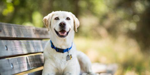 Dog, Mammal, Vertebrate, Canidae, Dog breed, Labrador retriever, Puppy, Retriever, Carnivore, Sporting Group,