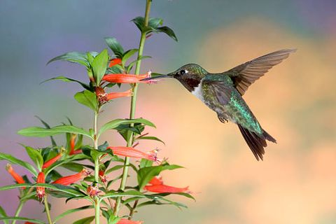 the ruby throated hummingbird archilochus colubris is a species of hummingbird as with all hummingbirds, this species belongs to the family trochilidae and is currently included in the order apodiformes this small animal is the only species of hummingbird that regularly nests east of the mississippi river in north america