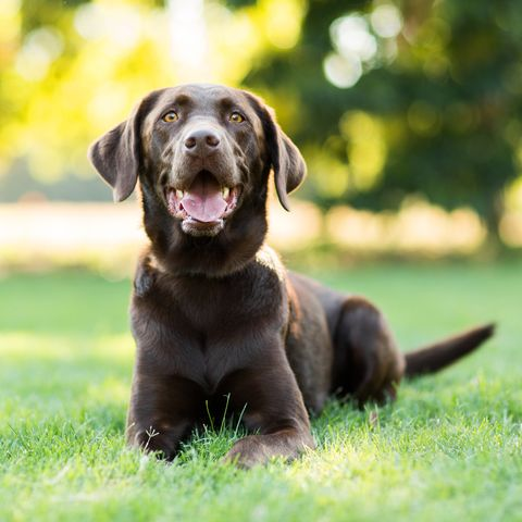 Chocolate Labrador Dog Laying on Grass Outdoors