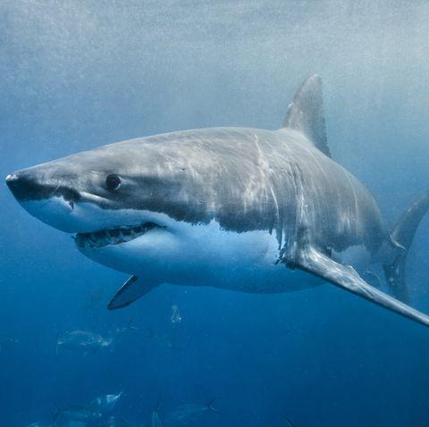 Great white shark, Fish, Shark, Lamniformes, Cartilaginous fish, Lamnidae, Marine biology, Tiger shark, Underwater, Requiem shark,