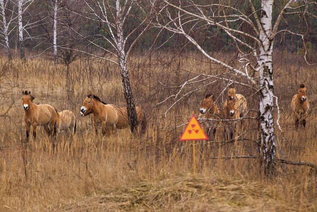 przewalskis horse, which inhabited the chernobyl zone after 20 years the population has grown, and now they gallop on radioactive territories