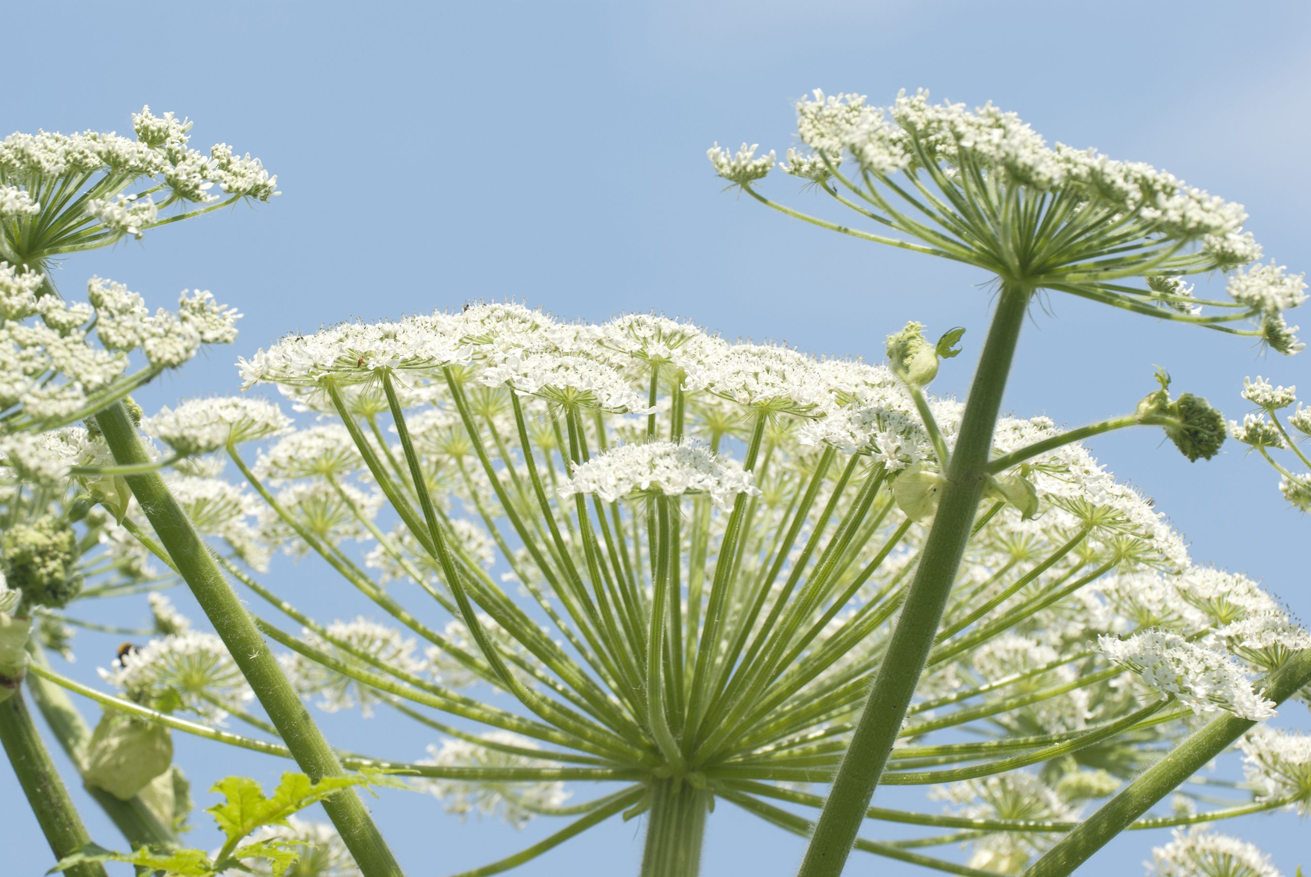 What Is Giant Hogweed Identification Locations Preventing Burns