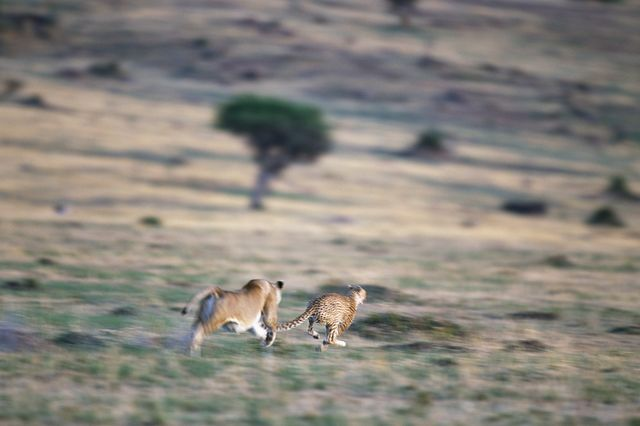 a lioness chases a cheetah across the savanna in kenyas masai mara national reserve