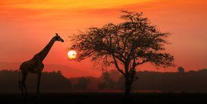 African Giraffe at sunrise