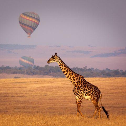 Giraffe, Wildlife, Giraffidae, Sky, Terrestrial animal, Grassland, Savanna, Plain, Natural environment, Safari,