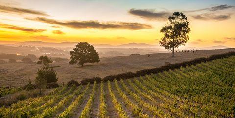 Stellenbosch South Africa Vineyard