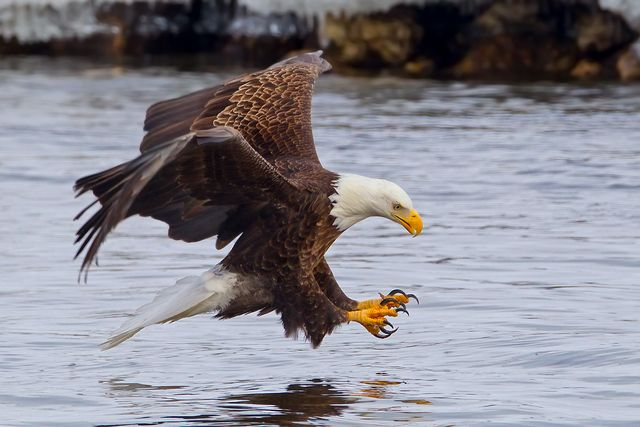 a bald eagle fishing in the mississippi river