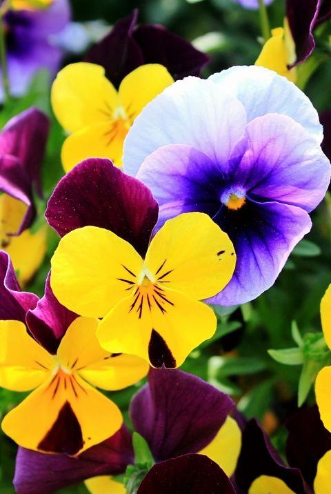 fall flowers pansies elle decor