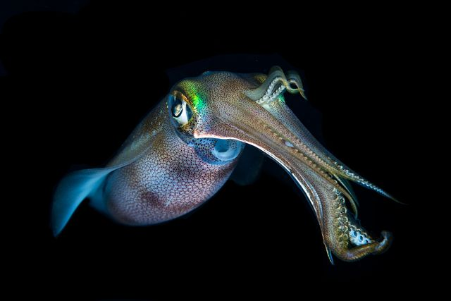 a bigfin reef squid sepioteuthis lessoniana hovers in midwater during night dive, puerto galera, philippines