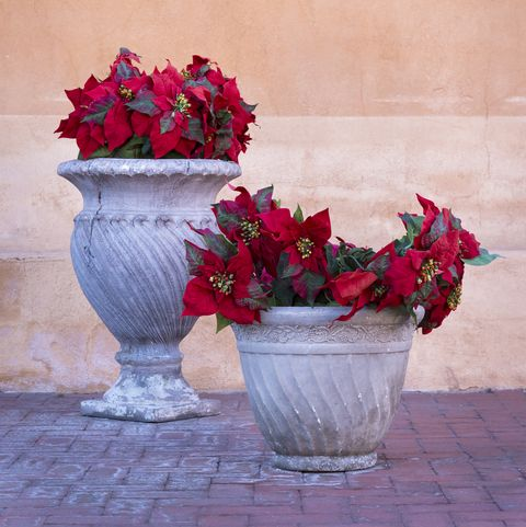How To Grow Poinsettia Flowers Poinsettia Plant Care For Christmas