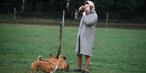 Mammal, Dog, Vertebrate, Canidae, Dog breed, Welsh Corgi, Pembroke welsh corgi, Carnivore, Obedience training, Grass,