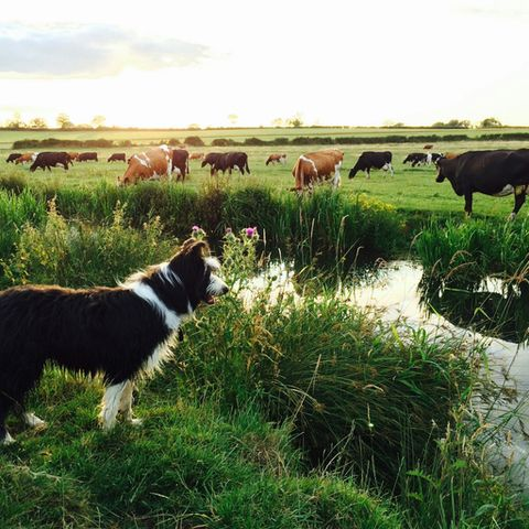 Collie And Cows On Grassy Field By River Against Sky