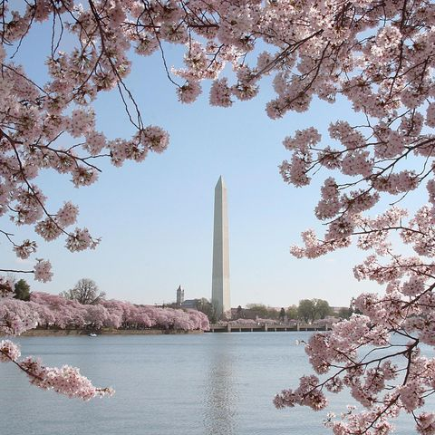 Blossom, Cherry blossom, Spring, Flower, Tree, Plant, Branch, Monument, Architecture, Obelisk,