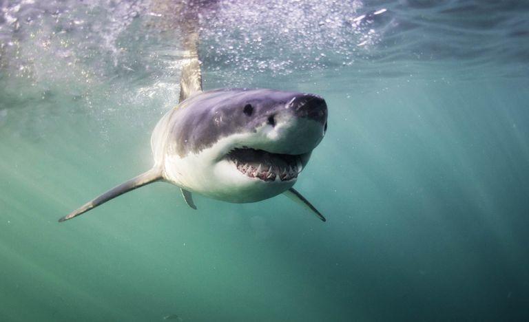"""Lo squalo può davvero """"sentire"""" l'odore di una goccia di sangue? Il video dell'esperimento"""