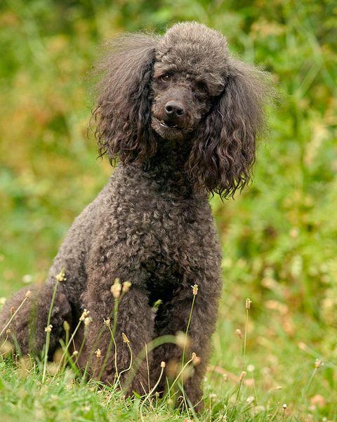 Dog, Mammal, Vertebrate, Canidae, Standard Poodle, Dog breed, Poodle, Miniature Poodle, Toy Poodle, Irish water spaniel,