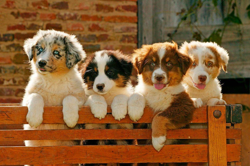 Top 10 Smartest Dog Breeds In 2018