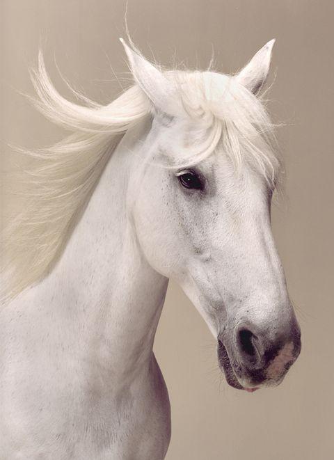 Beauty portrait of a white horse