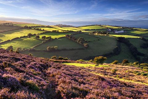 taken near the a39, a coastal road that runs from the small town of porlock to the popular village of lynton, situated on the north coast of exmoor national park, located in south west england this summer image captures the heather in full bloom along with the rolling landscape sectioned into fields, as the early evening sunlight bathes the scenery in a warm glow