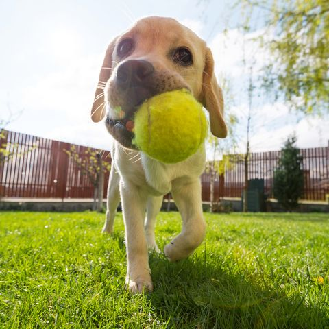 Tennis ball, Dog, Ball, Canidae, Dog breed, Grass, Snout, Soccer ball, Sporting Group, Carnivore,