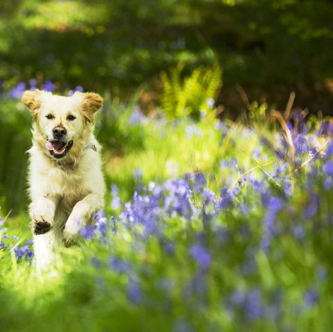 A Golden Retriever dog running through Bluebells in Jiffy Knotts wood near Ambleside, Lake District, UK.