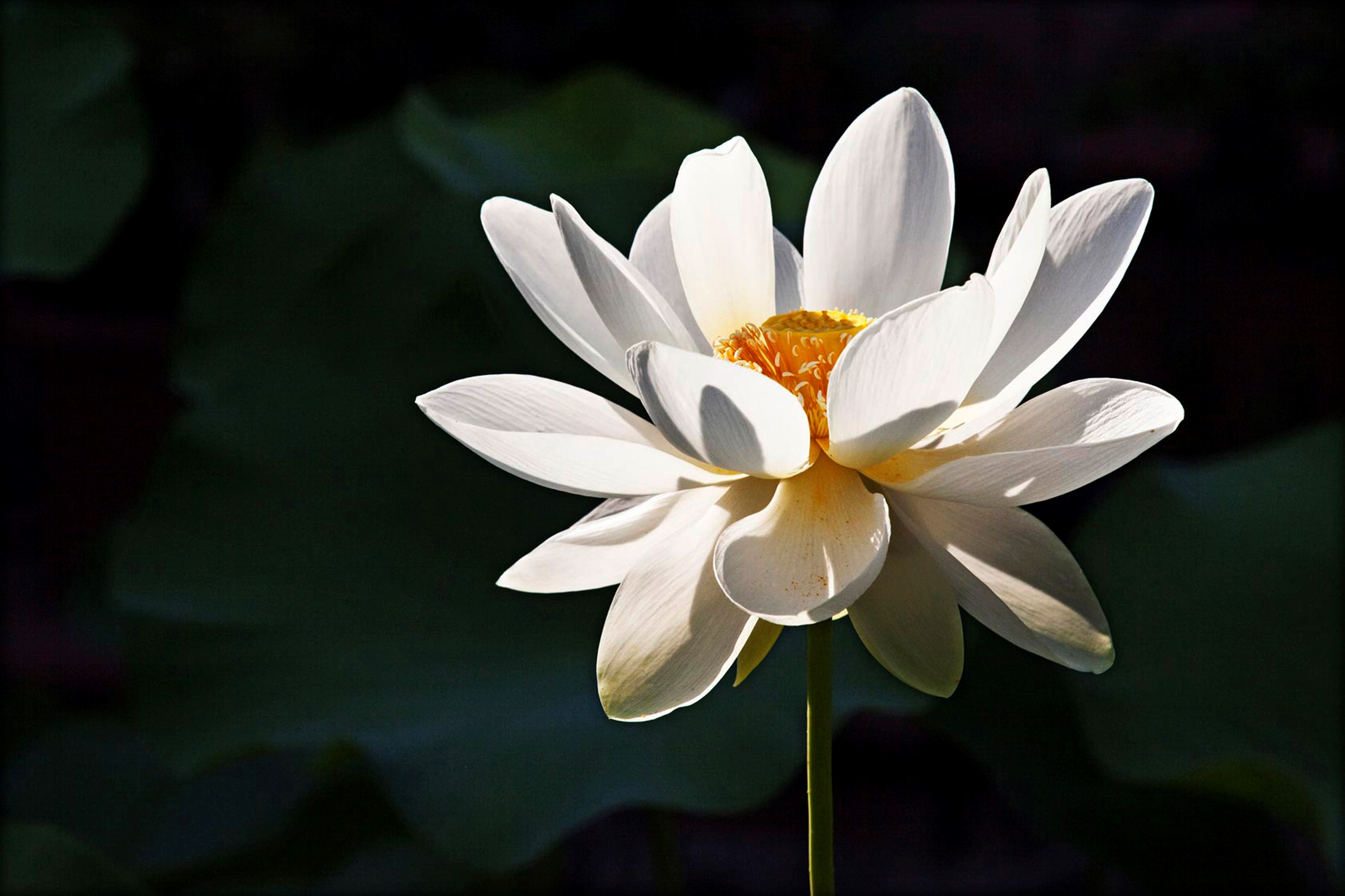 Lotus Flower Meaning , What is the Symbolism Behind the Lotus