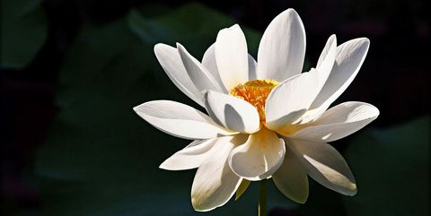 Lotus flower meaning what is the symbolism behind the lotus white lotus flower mightylinksfo