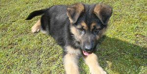 High Angle View Of German Shepherd Puppy Lying On Grass