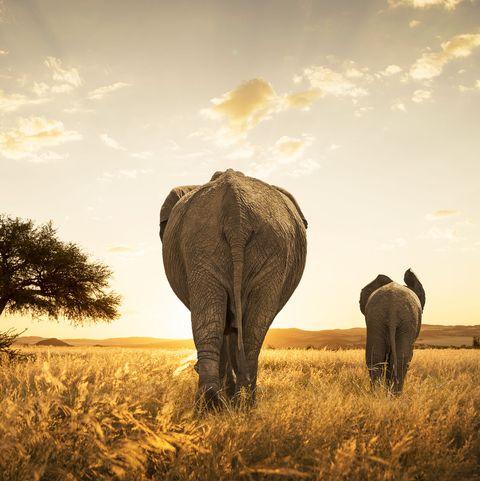 Sky, Natural environment, African elephant, Grassland, Tree, Savanna, Elephant, Grass, Plain, Wildlife,