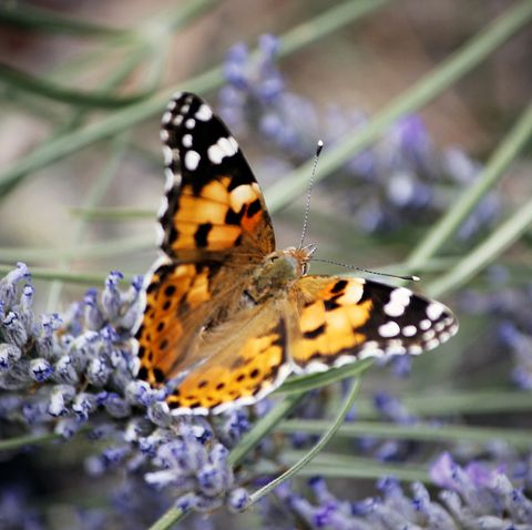 The UK will see a mass influx of painted lady butterfly this year – here's why