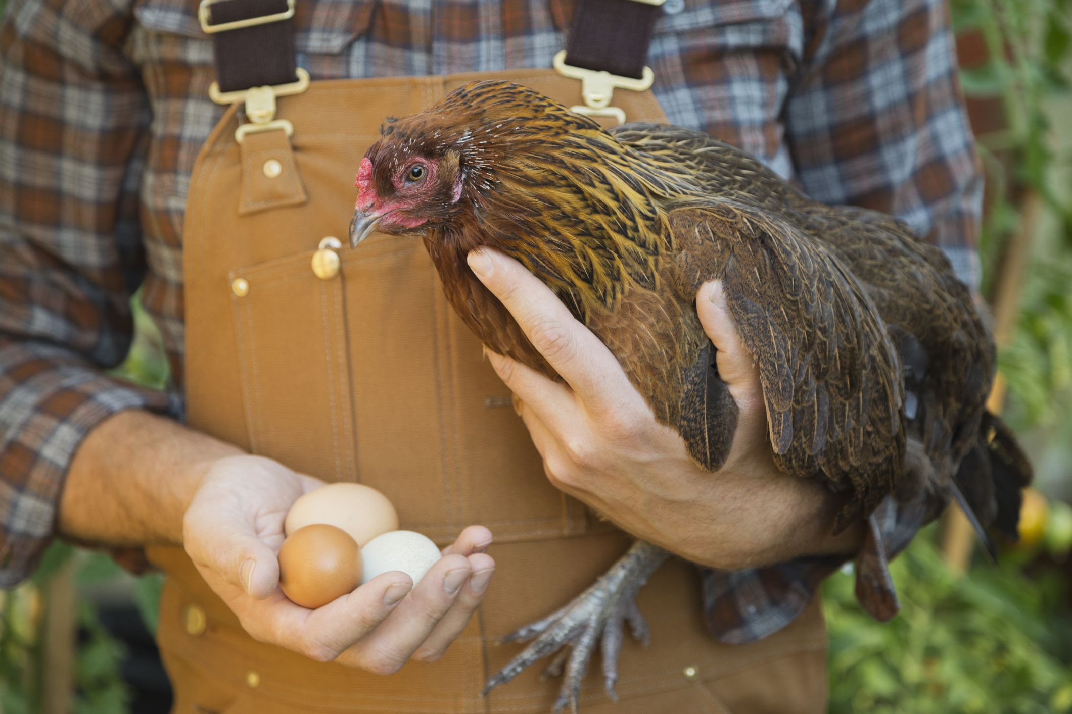 Don't Kiss or Cuddle Chickens, CDC Warns During Salmonella Outbreak