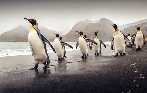 Penguin, King penguin, Bird, Vertebrate, Flightless bird, Beak, Gentoo penguin, Emperor penguin, Adaptation, adélie penguin,