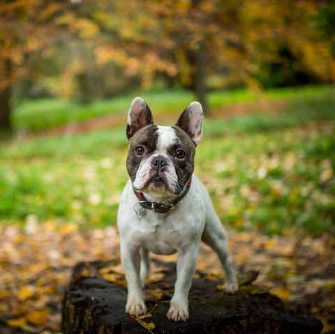 a french bulldog standing in a woodland setting with leaves on the ground