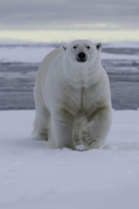 Polar bear, Bear, Polar ice cap, Arctic, Natural environment, Polar bear, Atmospheric phenomenon, Arctic ocean, Ice, Freezing,