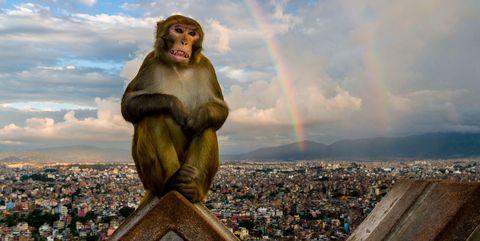 rhesus-monkey.jpg