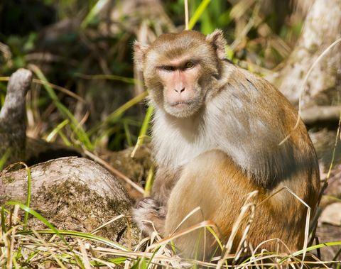 Mammal, Vertebrate, Macaque, Primate, Wildlife, Terrestrial animal, Rhesus macaque, Grass, Adaptation, Plant,