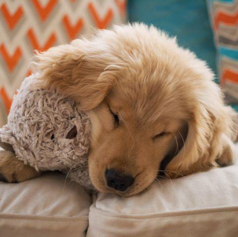 Dog, Mammal, Vertebrate, Canidae, Dog breed, Golden retriever, Carnivore, Companion dog, Goldendoodle, Puppy,