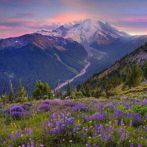 mount rainier wildflower bloom